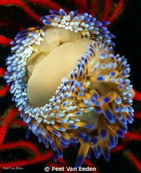 A gas flame nudibranch or may be two by Peet Van Eeden 